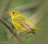 Male Yellow Warbler - DMHopp