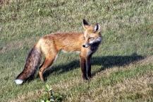 Red Fox - Doug Boyce