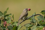 Ruby - Crowned Kinglet with Saskatoon Berry - DMHopp