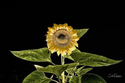 Sunflower Golden