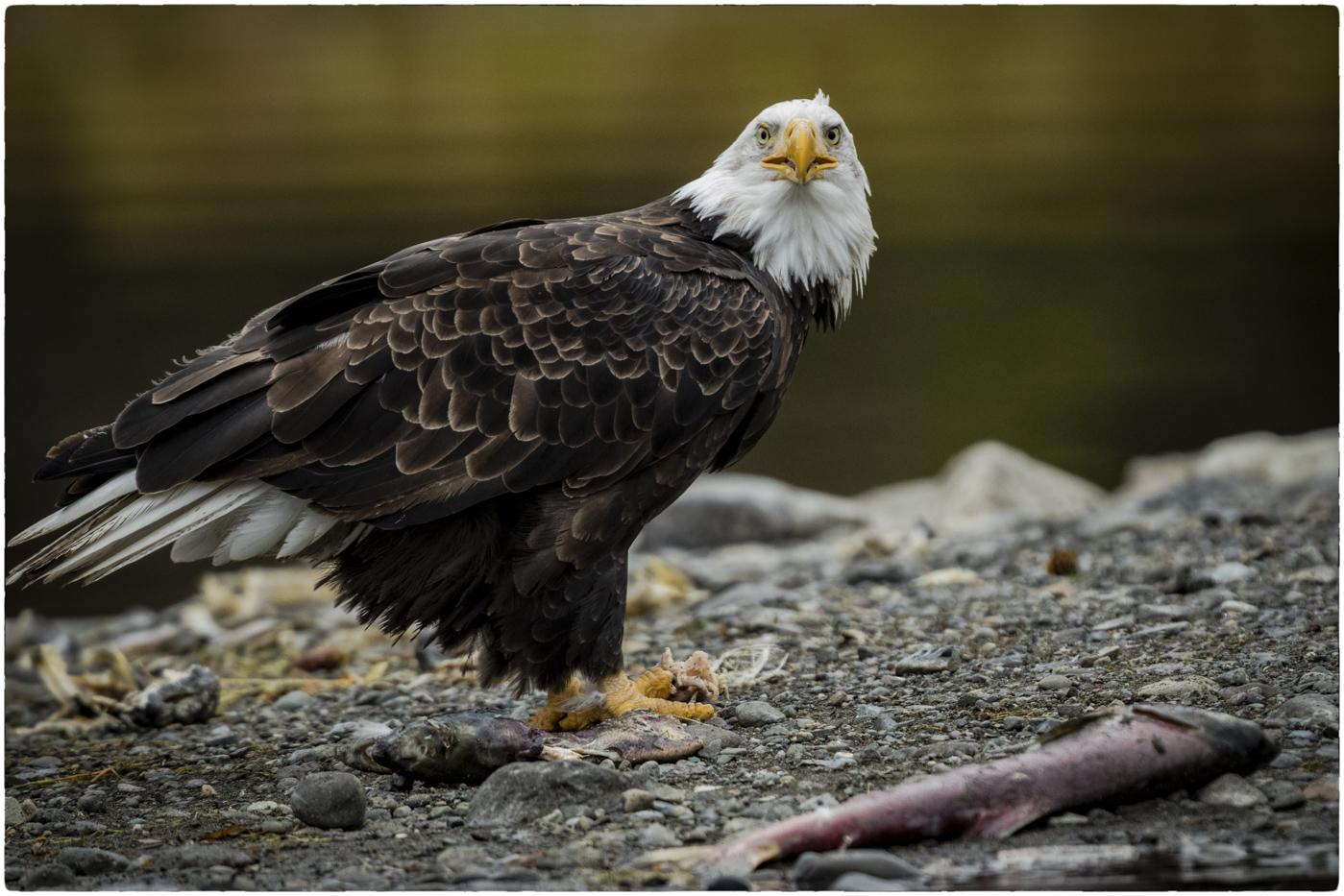 Bald Eagle on Sandbar