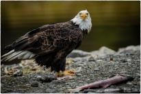 Bald Eagle on Sandbar - Diane Hopp