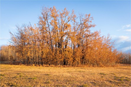 Cottonwood Grove - Autumn - Sharon Jensen
