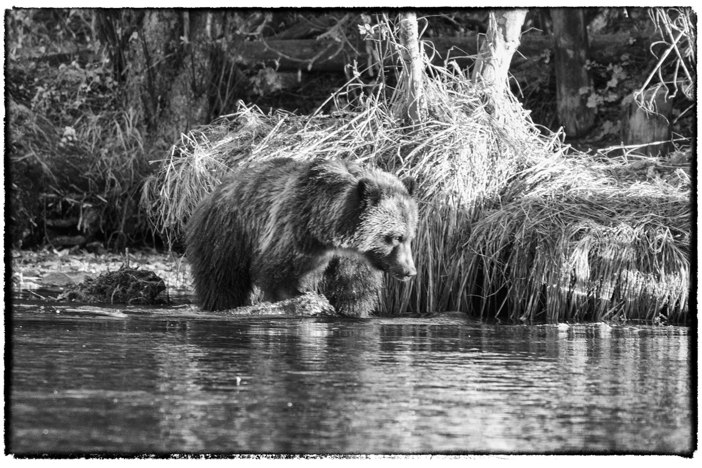 Grizzly Cub in Black and White