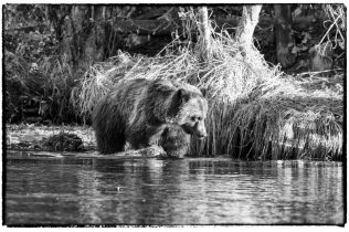 Grizzly Cub in Black and White - Diane Hopp
