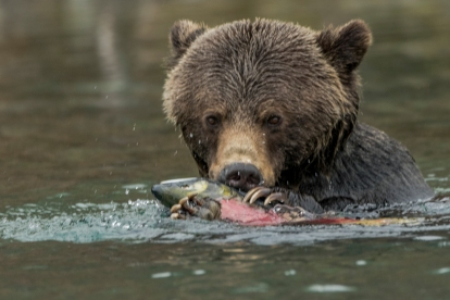 Grizzly Cub with Salmon - Diane Hopp