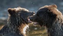 Grizzly Cubs Play Fighting - DMHopp.jpg - Nov2018-7489