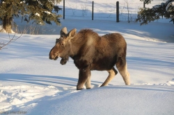 Moose-Gary Hardaker.jpg
