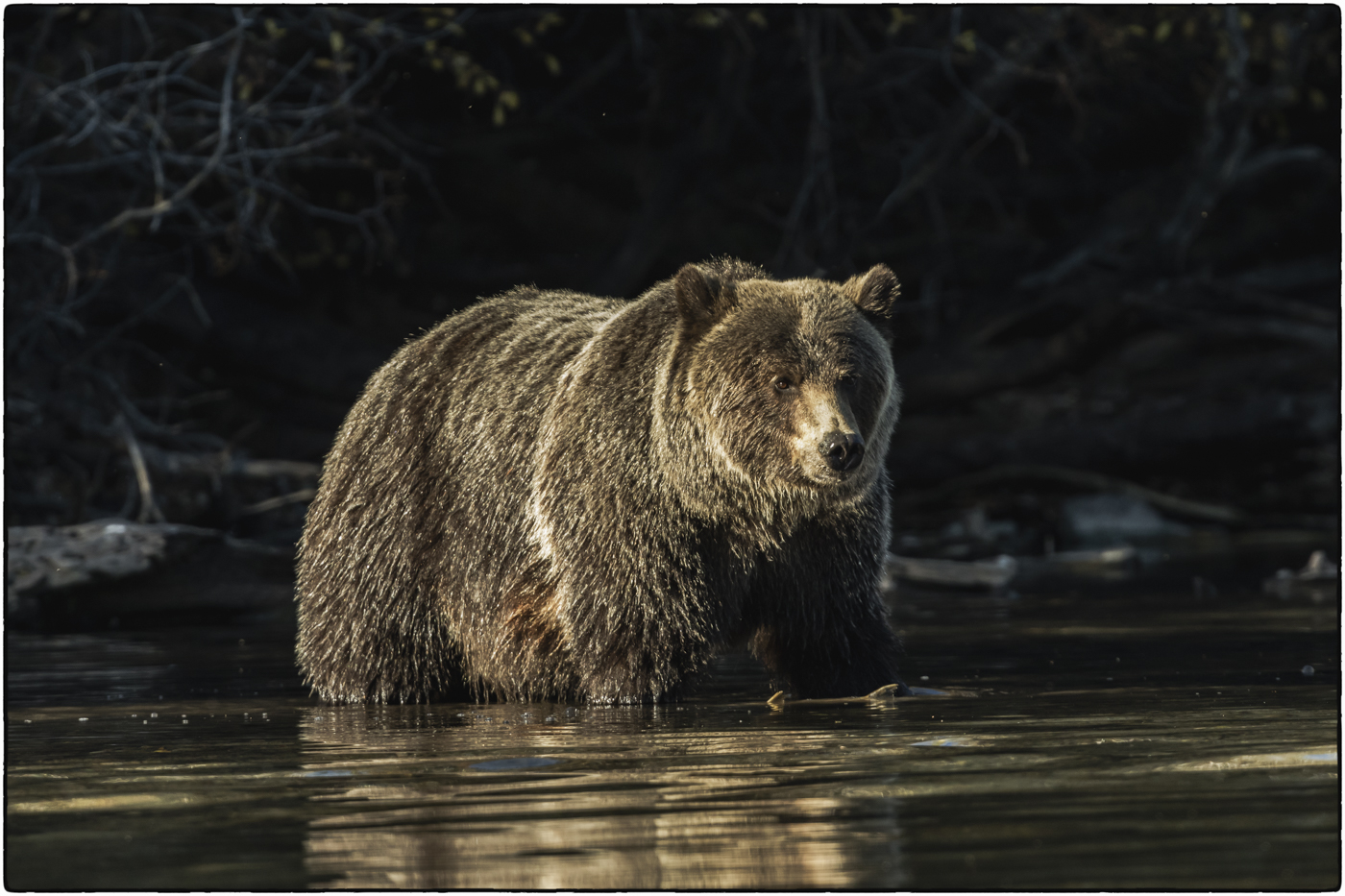 Shadow and Sunlight - Grizzly Sow