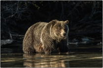 Shadow and Sunlight - Grizzly Sow - Diane Hopp