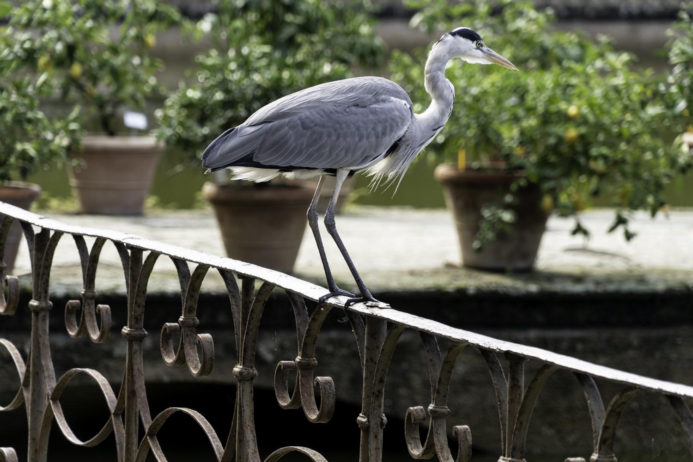 Poised - Heron - Giardino di Boboli, Florence, Italy - Derek Cha