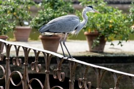 Poised - Heron - Giardino di Boboli, Florence, Italy - Derek Chambers
