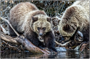 The Fishers - Grizzly Cubs - Diane Hopp