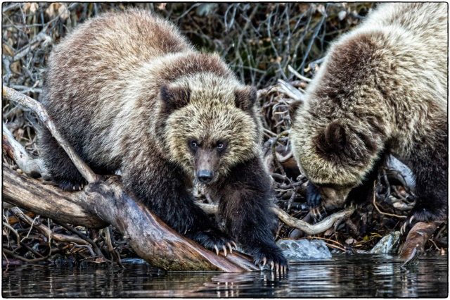 The Fishers - Grizzly Cubs
