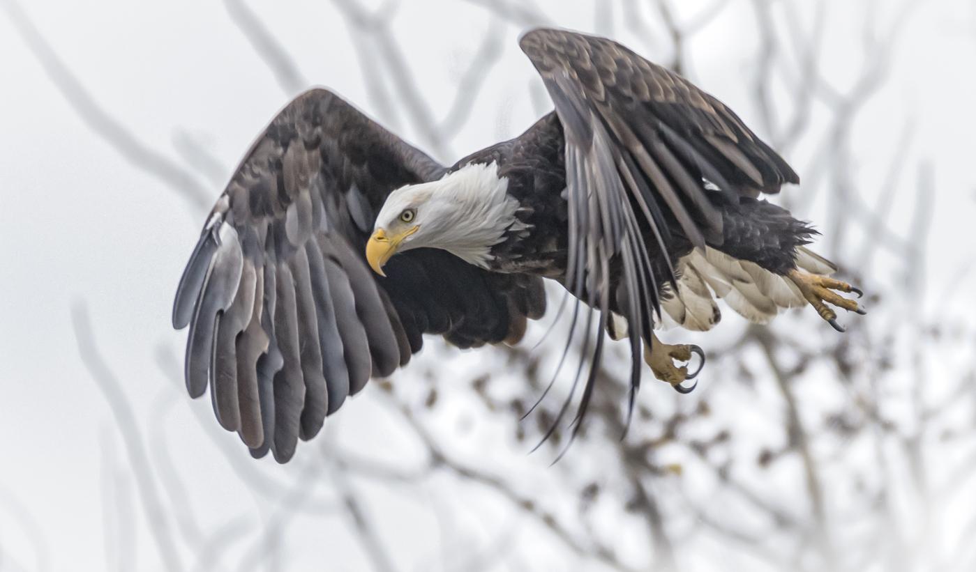 Eagle Take-off