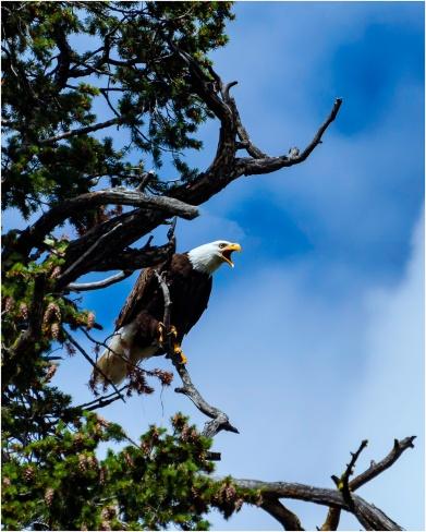 Eagle at Big Bar © Bill Melnychuk