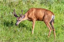 Little Mule Buck © Bill Melnychuk - 7516