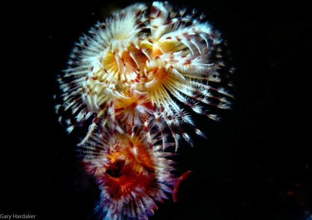 Serpula (plume) worm-Gary Hardaker.jpg