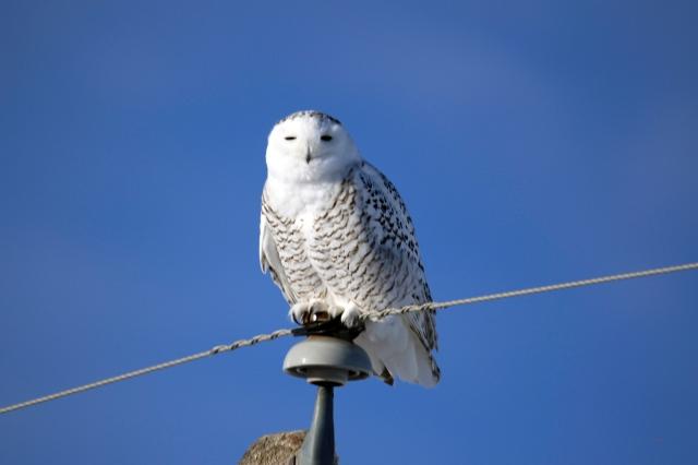 snowy owl 3 - doug boyce