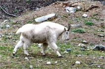 Yukon Mount Goat © Bill Melnychuk