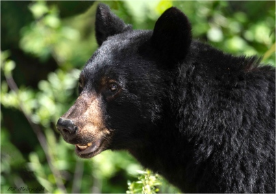 Blue River Black Bear - Bill Melnychuk - 7165