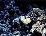 Clown Butterfly Fish- Gary Hardaker