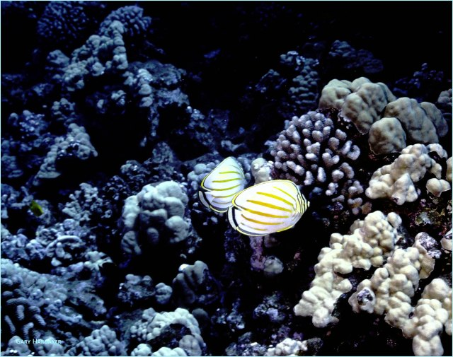 Clown Butterfly Fish- Gary Hardaker