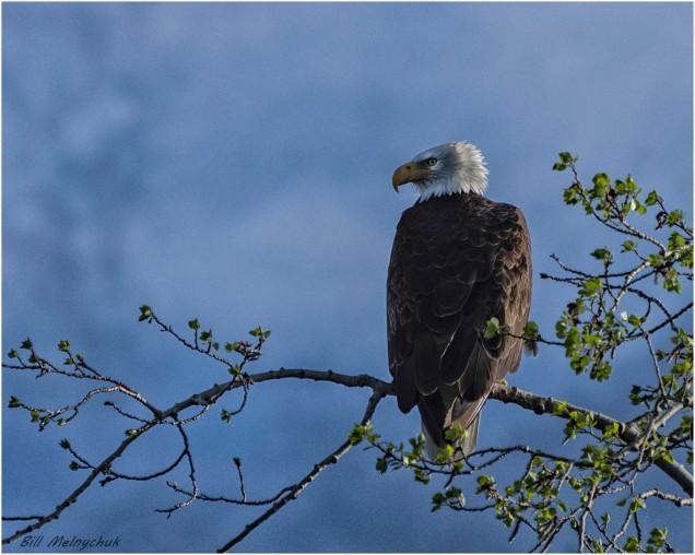 Eagle - Bill Melnychuk