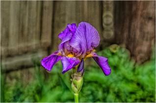 _DSC7034-Iris - Bill Melnychuk