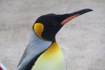 Emperor Penguin 2 - Doug Boyce