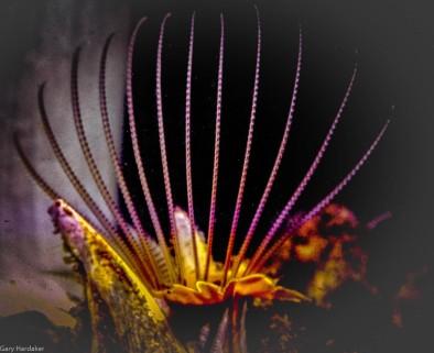 Giant Acorn Barnacle- Gary Hardaker.jpg