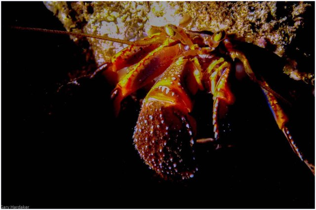 Hermit Crab Local- Gary Hardaker