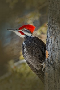 Looking out - Piliated Woodpecker