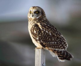 Short Eared Owl - Doug Boyce