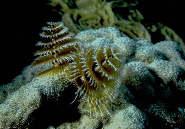 Tube Worms on Star Coral- Gary Hardaker.jpg