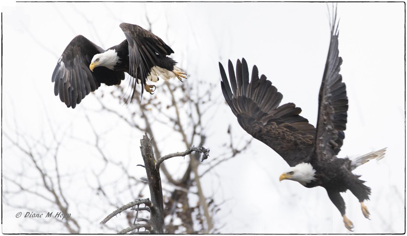 Two Eagles in Flight