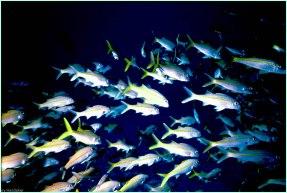 Yellow Striped Goatfish- Gary Hardaker