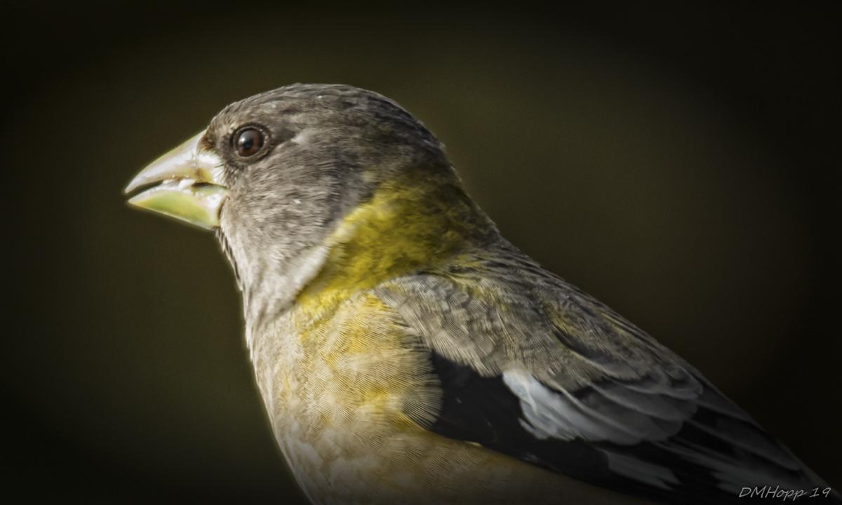 Female Evening Grosbeak Portrait - DMHopp (1 of 1)