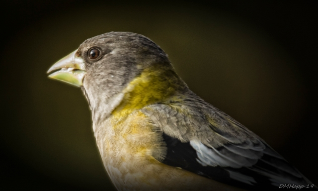 Female Evening Grosbeak Portrait - DMHopp (1 of 1)