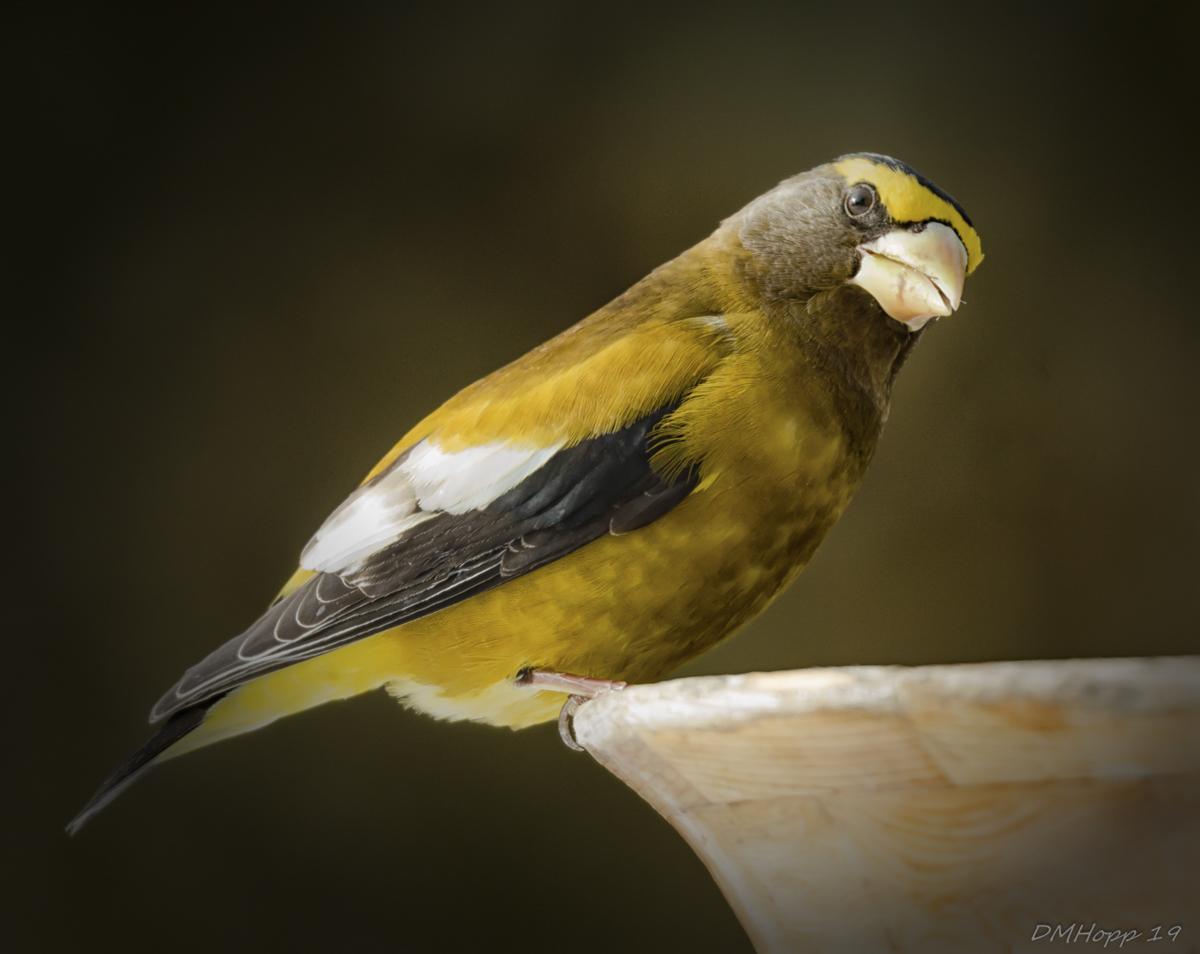 Harbinger of Spring - Male Grosbeak - DMHopp (1 of 1)