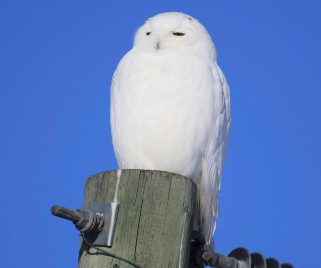 Male Snowy Owl - Doug Boyce
