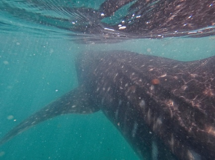 Whale Shark - Doug Boyce