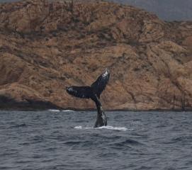 Whale Tail - Doug Boyce