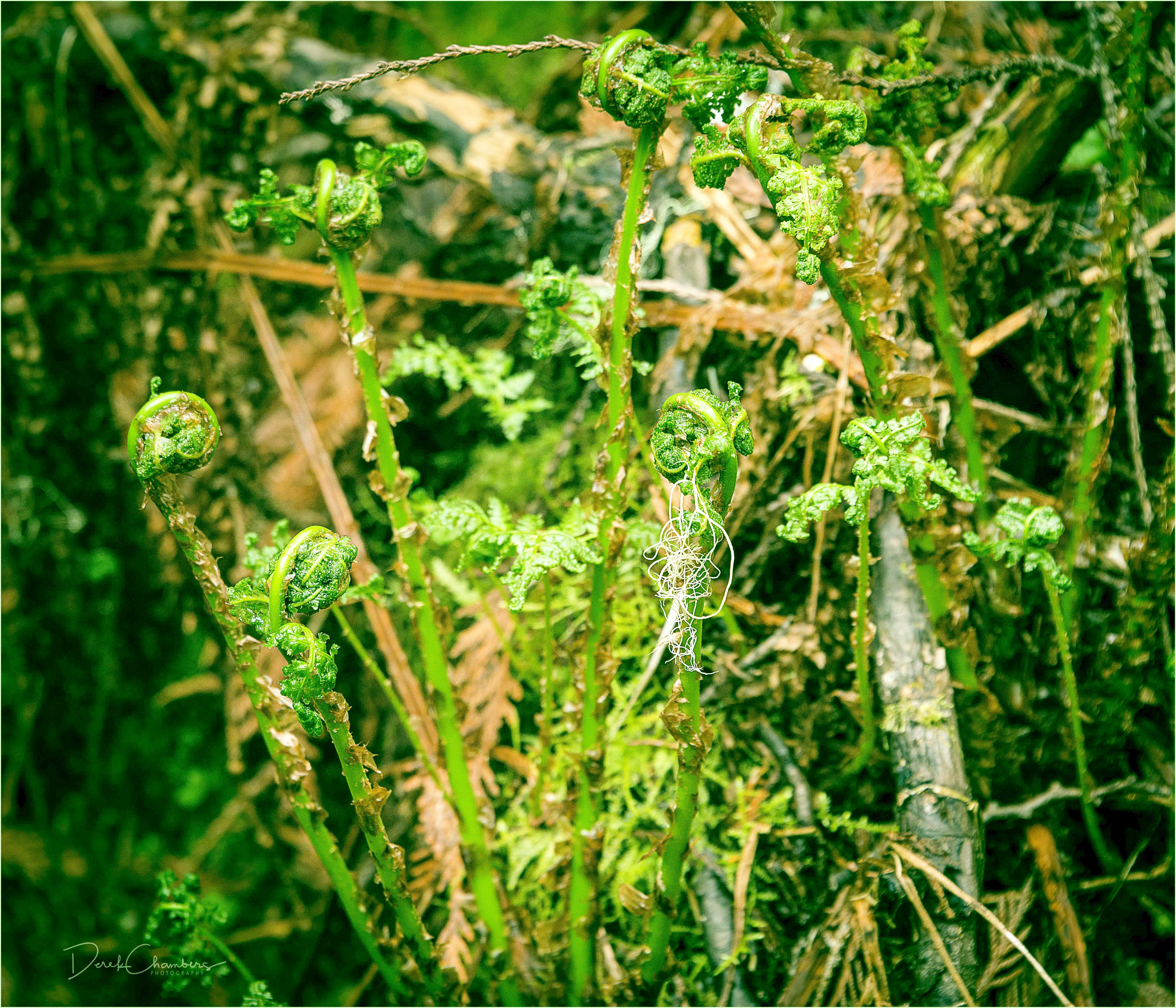 Ancient Forest 2017-05-13 - Derek Chambers