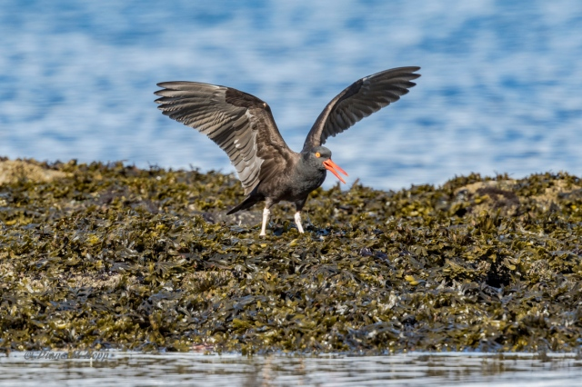 Annoyed Oyster Catcher - Diane Hopp