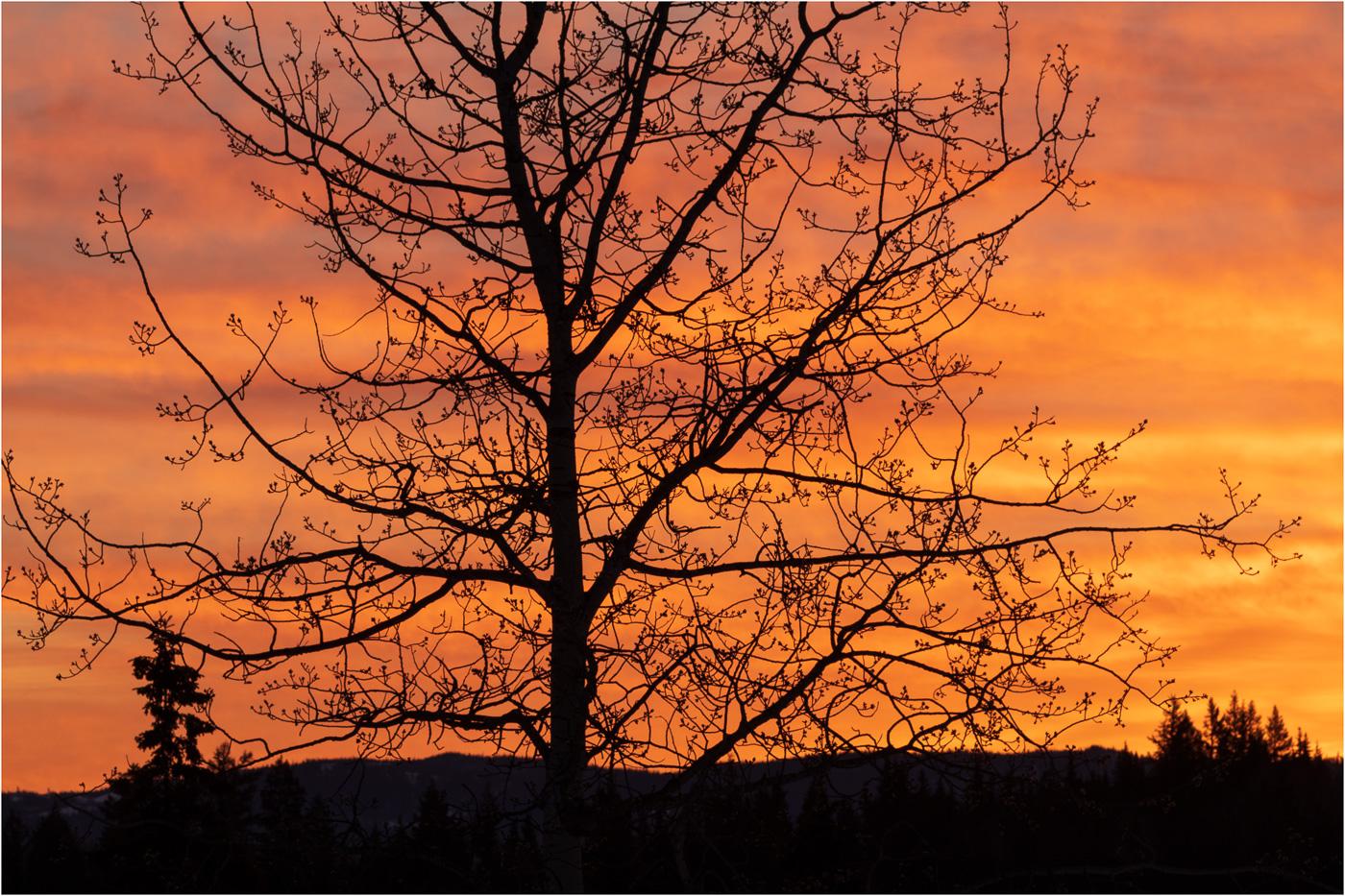 Aspen Silhouette at Sunrise - © Sharon Jensen