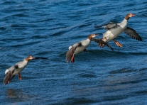 Common Mergansers- Diane Hopp