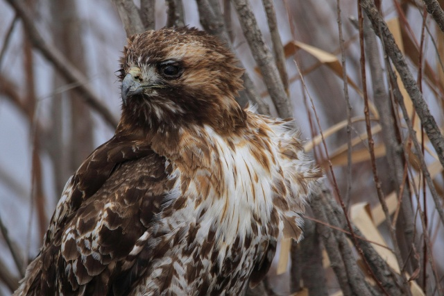 Juvenile Red Tailed Hawk - Doug Boyce