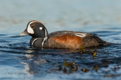 Male Harlequin Duck- Diane Hopp