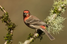 Male House Finch- Diane Hopp